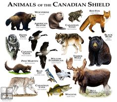 """Fine art illustration of some of the animals found around the """"Canadian Shield"""""""