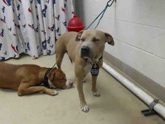 11/01/16-HOUSTON - HIGH KILL FACILITY - ALL DOGS URGENT DUE TO OVERCROWDING ATHENA - ID#A469561 My name is ATHENA I am a spayed female, brown and white Pit Bull Terrier. The shelter staff think I am about 3 years old. I have been at the shelter since Oct 29, 2016. This information was refreshed 2 hours ago and may not represent all of the animals at the Harris County Public Health and Environmental Services.