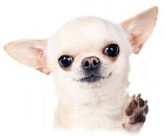 Chihuahua Showing Trimmed Nails