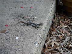 As the camera nears, the lizard does pushups, maybe to relieve tension. Click for story.