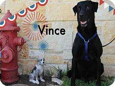 Sugar Land, TX - Labrador Retriever Mix. Meet *VINCE, a dog for adoption. http://www.adoptapet.com/pet/15960228-sugar-land-texas-labrador-retriever-mix