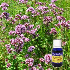 Oregano Essential Oil (Origanum vulgare) for aromatherapy, skin care and natural perfumes. Tinderbox: supplying pure essential oils since Oregano Essential Oil, Pure Essential Oils, Blue Glass Bottles, Citronella, Raw Materials, Lemon Grass, Geraniums, Aromatherapy, Herbalism