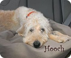 Hooch a Labradoodle Poodle Mix Adult Male.  Neutered, housetrained and up to date with shots.  Jackson NJ