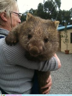 This gives you an idea of how big an Australian Hairy nosed wombat can be. I bet that's a heavy load too!