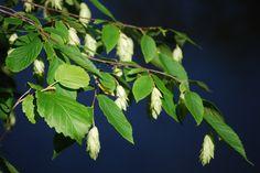 Ostrya virginiana - Hophornbeam/ Ironwood