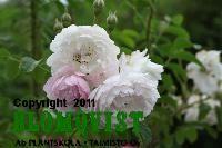 Rosa `Sävel´ TTA-715 Garden Sculpture, Finland, Outdoor Decor, Flowers, Plants, Pink, Flora, Royal Icing Flowers, Floral