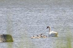 http://www.pienilintu.blogspot.fi/2014/07/the-swan-family.html