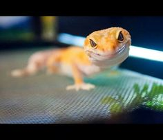 Tangerine Leopard Gecko *Look at that face! :)