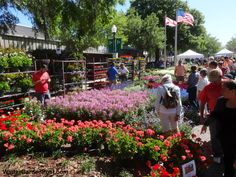 Browsing the Geraniums and Cleome at the Knox Nursery booth