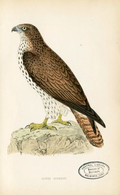 Old Circa 1865 ANTIQUE VINTAGE Bookplate Rev. MORRIS History of British Birds Hand-colored Wood Block Plate Honey Buzzard