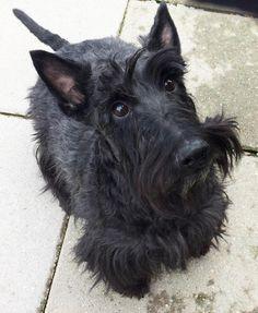 Meet Kobe, a Petfinder adoptable Scottish Terrier Scottie Dog | Silver Spring, MD