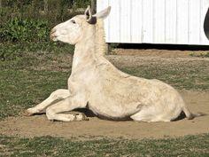 Mina White Donkey 1 year.     Credit: Just Chaos Photography. Courtesy: Jean, Palo Alto, CA (USA).