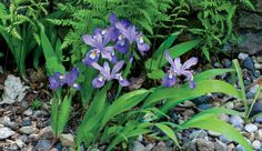 Crested iris (Iris cristata and cvs.)  Zones: 3 to 8  Size: 8 to 12 inches tall, spreading indefinitely  Conditions: Bright shade; moderately fertile, well-drained soi