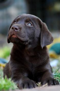 Chocolate Lab puppy by silvia
