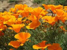 plante plein soleil à fleurs orange- le pavot de Californie / Eschscholzia californica