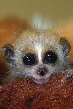 Cutest animal ever? A pygmy slow loris gives us the eye.