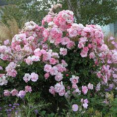 bonica rose I like this as much as Knockout