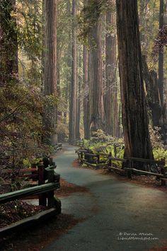 Antiguo Bosque de secuoyas por Darvin Atkeson El pequeño bosque de secoyas conocidos como John Monumento Nacional Muir.