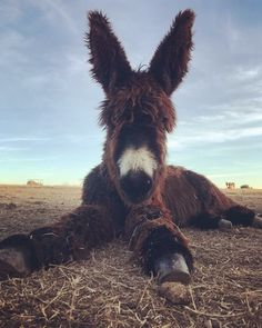 Poitou donkeys are one of the most endangered breeds on the Livestock Conservancy's Conservation Priority List. Baby Donkey, Cute Donkey, Mini Donkey, Baby Cows, Baby Elephants, Cute Baby Animals, Farm Animals, Animals And Pets, Funny Animals