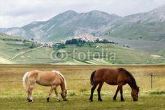 Cavalli al pascolo a Castelluccio di Norcia (Umbria, Italy) - horses grazing © Pietro D'Antonio