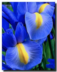 My all time Favorite Flower! The Iris. Van Gogh got this one so right!