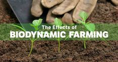 The Effects of Biodynamic Farming on the Environment and Food Quality. Biodynamic farming, initially developed by Rudolf Steiner, is an approach that can provide far superior harvests while simultaneously healing the Earth. https://articles.mercola.com/sites/articles/archive/2017/10/15/biodynamic-farming-effects.aspx?utm_source=dnl&utm_medium=email&utm_content=art1&utm_campaign=20171015Z1_UCM&et_cid=DM162468&et_rid=85044039