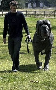 Hercules an English Mastiff. Weighs 282 lbs Hercules an English Mastiff. Weighs 282 lbs Source by kathyheline Huge Dogs, I Love Dogs, Giant Dogs, Small Dogs, Le Plus Grand Chien, Funny Animals, Cute Animals, Animals Dog, Funny Dogs