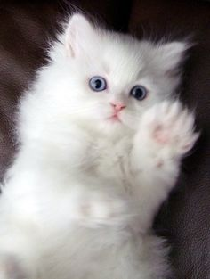Cute Baby Cats, Cute Cats And Kittens, Cute Baby Animals, Kittens Cutest, Ragdoll Kittens, Tabby Cats, Funny Kittens, Bengal Cats, Pretty Cats