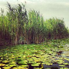 Reed and water lilies in Danube delta Danube Delta, Water Lilies, Vineyard, Plants, Outdoor, Outdoors, Vine Yard, Vineyard Vines, Planters