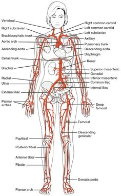 This diagrams shows the major arteries in the human body.