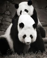 ~ Oso Panda