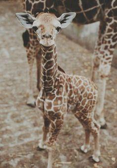 Cute baby giraffe! :)