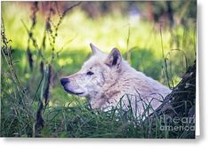 Wolf Greeting Card by Sebastien Coell