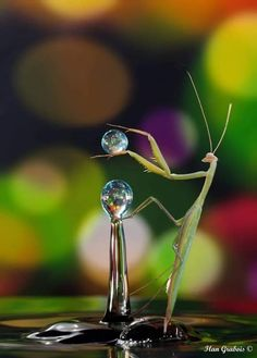 Praying Mantis drinking from water drops. (Animal Pictures) One Word Art, R Image, Praying Mantis, R Dogs, Creature Feature, Wildlife Nature, Zoology, Water Drops, Beautiful Creatures