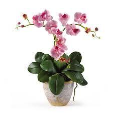 Hasil gambar untuk Phalaenopsis