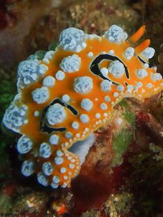 Nudibranchs are small marine gastropods, snails who have done away with their shells in favour of more vibrant, colourful and poisonous fashions. Beautiful Sea Creatures, Deep Sea Creatures, Weird Creatures, Under The Ocean, Sea Snail, Sea Slug, Underwater Creatures, Animals Of The World, Fauna