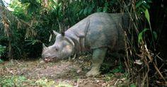 """Os rinocerontes da Indonésia - em especial, os cem exemplares da espécie """"Rhinoceros sondaicus"""" - estão na lista dos animais mais ameaçados do planeta devido à caça ilegal. O chifre do mamífero é usado na medicina de países asiáticos, como China e Vietnã, por seu """"efeito de cura"""" - no mercado negro, o quilo do osso pode custar até US$ 65 mil (cerca de R$ 132 mil)"""