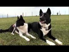 Karelian Bear Dog Bear Dogs, Dogs 101, Hunting Dogs, I Love Dogs, Boston Terrier, Dog Breeds, Dog Cat, Cute Animals, Future