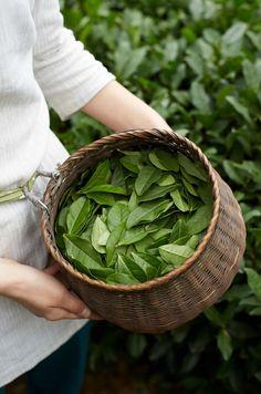 Bay leaves in a basket Ana Rosa Herb Garden, Vegetable Garden, Tea Culture, Fruit Tea, Fresh Fruit, Bay Leaves, Flower Tea, Chinese Tea, Plantation
