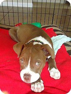 American Staffordshire Terrier Puppy for adoption in Austin, Texas - Sadie