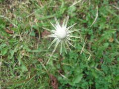 Dandelion, September, Colours, Flowers, Plants, Dandelions, Plant, Taraxacum Officinale, Royal Icing Flowers