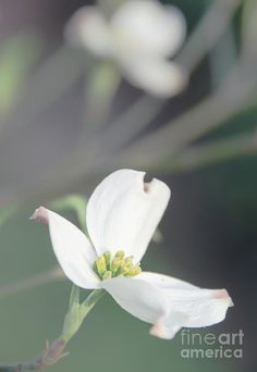 Art for sale: https://fineartamerica.com/featured/dogwood-5-andrea-anderegg.html #wallart #artcollector #uniquegifts #homedecor #interiordesign #fineart #fineartphotography #onlineshopping #trendy #art #andreaanderegg  #inspirational #bibleverse #poem #quotes #fineartprints #dogwood #Easter #flower #thelegendofthedogwood