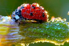 Lady Bug meets morning dew.