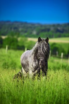 """Devet van Leon aka """"Mac"""" is a blue roan Brabant stallion that's owned by Darren Royse and stands at stud in Flemingsburg, KY. Mac's Belgian Horse registration number is S67538 and he was born Feb. 12, 2009 in Odessa, Florida. His Dam is Leontine Ter Dieschoot and Sire is Pim De Balgerhoek. (photo by Stacy L. Pearsall)(www.stacypearsall.com)"""