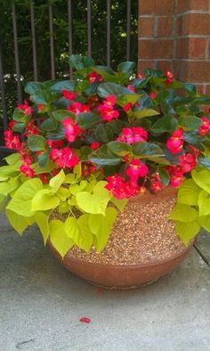 Dragon wing begonias and potato vine. Love the vibrant green potato vine and it's hardy. I've been planting among planters and beds as it adds such a beautiful contrast to the other plant colors.