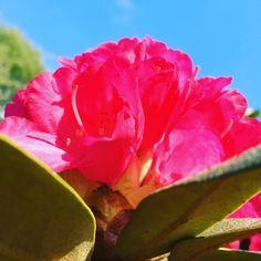 Vår Vegard, med Downs i familien. Rose, Flowers, Plants, Pink, Plant, Roses, Royal Icing Flowers, Flower, Florals