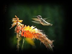 Red Hot Poker | 37 Flowers That Attract Hummingbirds