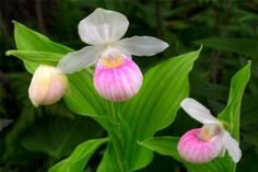How to Grow Lady's Slipper Orchid  http://hubpages.com/hub/howtogrowladysslipperorchidgrowingtips