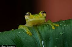 The glass frog is relatively common in the Monteverde cloud forest in Coast Rica
