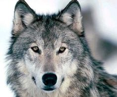Discover your spirit animal: Learn more about wolf symbolism, the traits of the wolf totem, and what encounters and dreams mean for your life. Wolf Photos, Wolf Pictures, Wolf Images, Animal Pictures, Pictures Images, Beautiful Creatures, Animals Beautiful, Cute Animals, Wolf Spirit